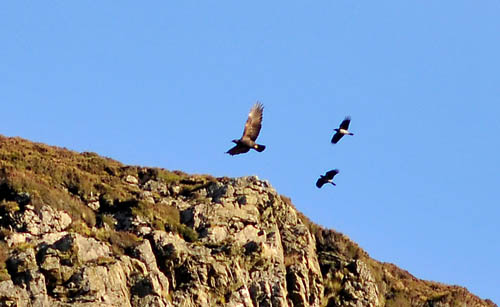 Golden Eagles, Isle of Arran