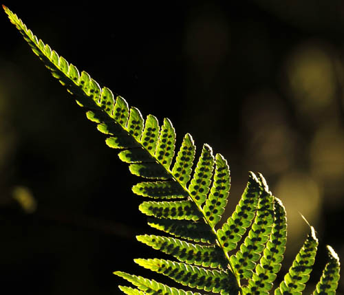 Fern, Isle of Arran