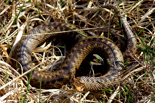 Adder, Isle of Arran