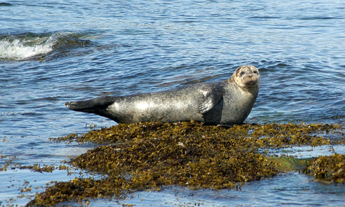Seal, Isle of Arran