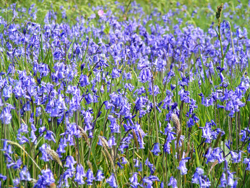 Bluebells, Isle of Arran
