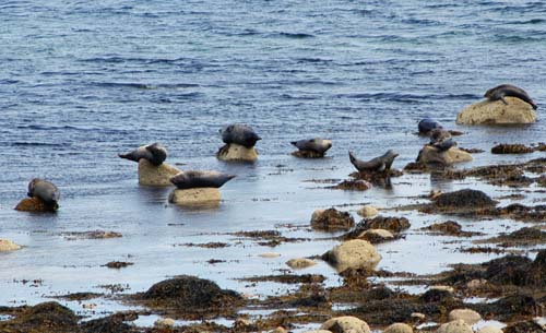 Seals, Isle of Arran