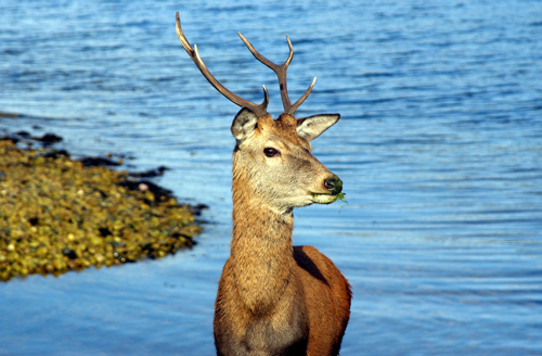 Deer, Isle of Arran